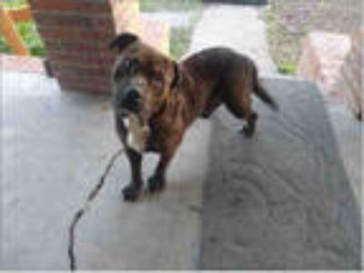 Adopt DICE a Brindle Mastiff / American Pit Bull Terrier / Mixed dog in Houston