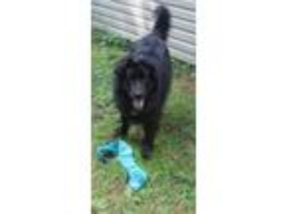Adopt Gracie a Newfoundland Dog, Collie