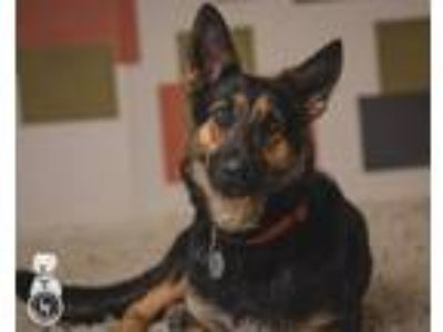 Adopt Dahlia a Black - with Tan, Yellow or Fawn German Shepherd Dog / Mixed dog
