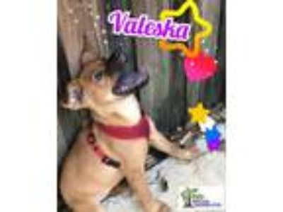 Adopt Valeska a Chow Chow, German Shepherd Dog