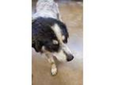 Adopt Mack a White Great Pyrenees / Border Collie / Mixed dog in Burleson
