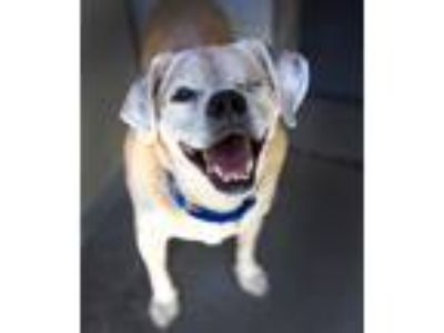 Adopt Mulligan a Pug / Beagle / Mixed dog in Troutdale, OR (25639574)