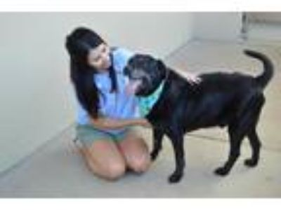 Adopt Sam a Black Labrador Retriever / Mixed dog in McKinney, TX (25585539)
