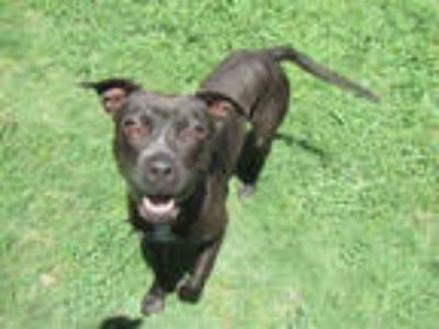 Adopt NOAH a Black - with White American Pit Bull Terrier / Mixed dog in Plano