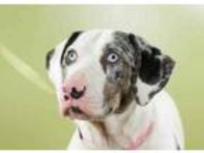 Adopt Nola a White Catahoula Leopard Dog / Great Dane / Mixed dog in West Allis