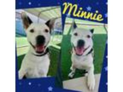 Adopt MINNIE a Border Collie, Pit Bull Terrier