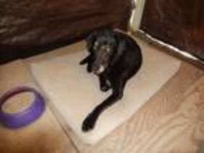 Adopt Bailey Sue a Black Labrador Retriever