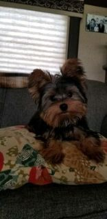 Yorkshire Terrier PUPPY FOR SALE ADN-91119 - AKC Yorkie Male puppy