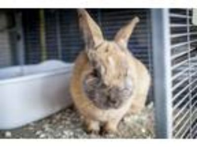 Adopt Sir Hopkins a Bunny Rabbit