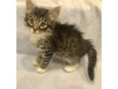 Adopt Icecream a Tan or Fawn Tabby Domestic Longhair / Mixed (long coat) cat in