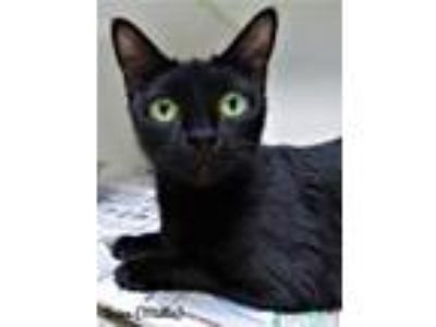 Adopt Kitten Mouse a All Black Domestic Shorthair / Domestic Shorthair / Mixed