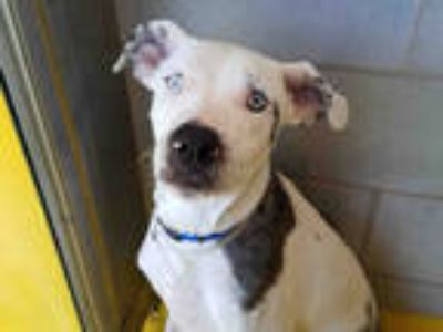 Adopt TYLER a White - with Black American Pit Bull Terrier / Mixed dog in