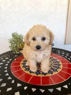 Maltipoo PUPPY FOR SALE ADN-104579 - Adorable Maltipoo Girl