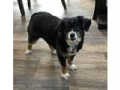 Adopt Tasha a Tricolor (Tan/Brown & Black & White) Australian Shepherd / Mixed