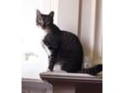 Adopt Biscuit Betty a Tabby, Domestic Short Hair