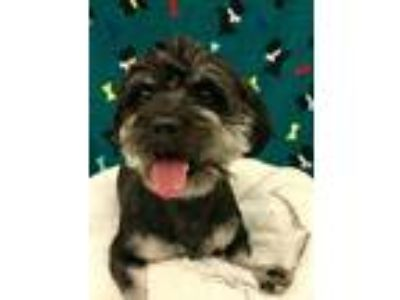 Adopt MR. FEENY a Shih Tzu / Poodle (Standard) / Mixed dog in Wintersville