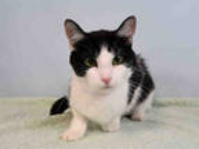 Adopt SHADOW a Black & White or Tuxedo Domestic Shorthair / Mixed (short coat)