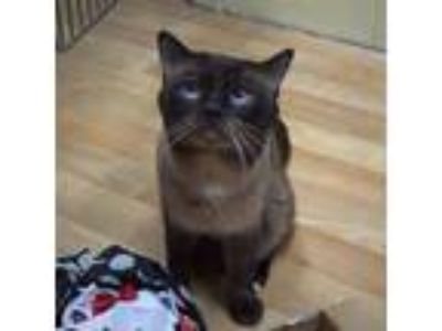 Adopt Grady a Brown or Chocolate (Mostly) Siamese (short coat) cat in Wheaton