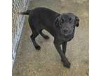 Adopt Starburst a Black Retriever (Unknown Type) / Mixed dog in West Chester