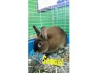 Adopt Samuel a Chocolate Rex / Mixed (short coat) rabbit in Pottsville
