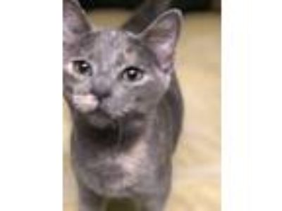 Adopt Ellie a Calico or Dilute Calico Domestic Shorthair (short coat) cat in Los
