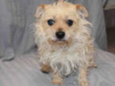 Adopt BULLET a White Cairn Terrier / Mixed dog in Upland, CA (24914387)