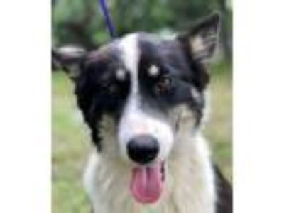 Adopt DESIREE a Black - with White Border Collie / Mixed dog in Pittsburgh, PA