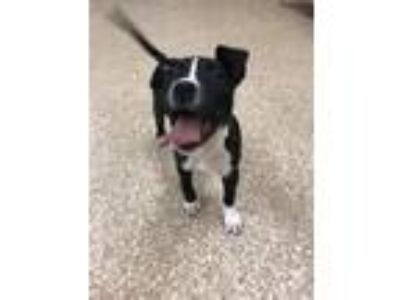 Adopt Nevaeh a American Staffordshire Terrier / Mixed dog in Utica