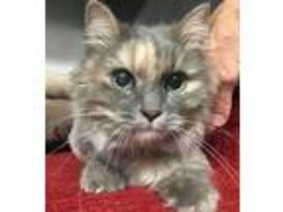 Adopt Sidney a Gray or Blue Domestic Longhair / Domestic Shorthair / Mixed cat