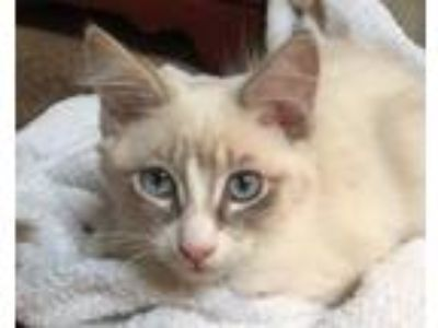 Adopt BOOTS a Snowshoe, Siamese