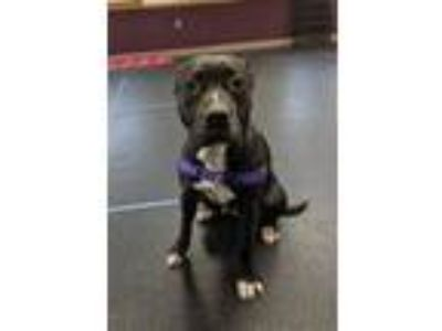 Adopt Tiki a Black American Pit Bull Terrier / Mixed dog in Glenville