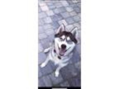 Adopt Storm a Black - with White Husky / Mixed dog in Callahan, FL (25295602)