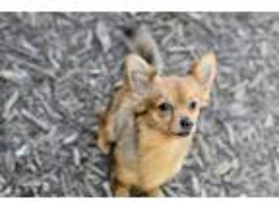 Adopt Copper a Pomeranian / Mixed dog in Canton, GA (25636973)
