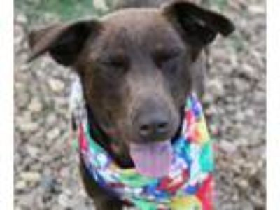Adopt Nixie a Brown/Chocolate Labrador Retriever / Mixed dog in Oxford