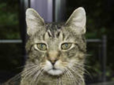 Adopt EMMIT a Brown Tabby Domestic Shorthair / Mixed (short coat) cat in
