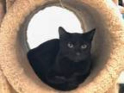 Adopt Bagherra a Domestic Short Hair