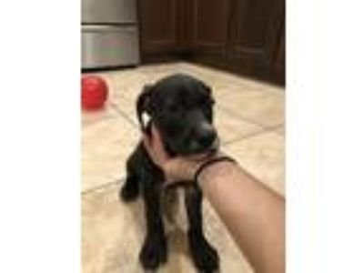 Adopt Baybee a Black - with Tan, Yellow or Fawn Labrador Retriever / American