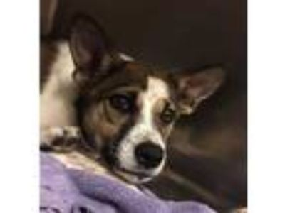 Adopt Sapphire a White German Shepherd Dog / Jack Russell Terrier / Mixed dog in