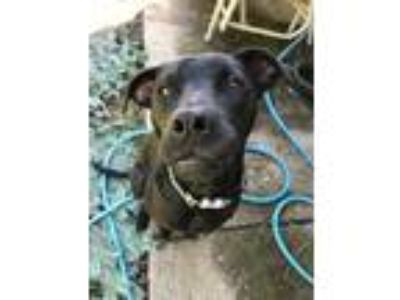 Adopt Harvey a Black American Staffordshire Terrier / Labrador Retriever / Mixed