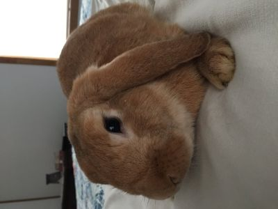 Holland Lop rabbit with cage
