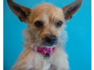 Adopt Toffee a Tan/Yellow/Fawn Terrier (Unknown Type, Small) / Mixed dog in Palm