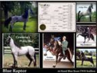 Blue Roan Tennessee Walking Horse Foals both colts Fillies Available