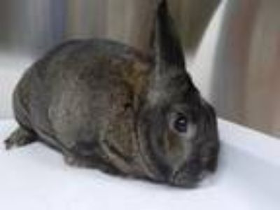 Adopt BLUMKINS a Other/Unknown / Mixed (short coat) rabbit in Fairbanks