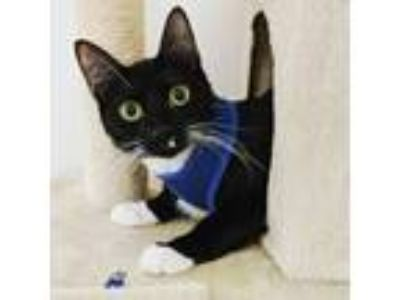Adopt Charlie a Black & White or Tuxedo Domestic Shorthair cat in Williston