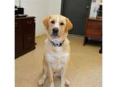 Adopt Luke a Yellow Labrador Retriever, Great Pyrenees