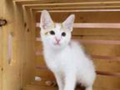 Adopt RAINER a White Domestic Shorthair / Domestic Shorthair / Mixed cat in