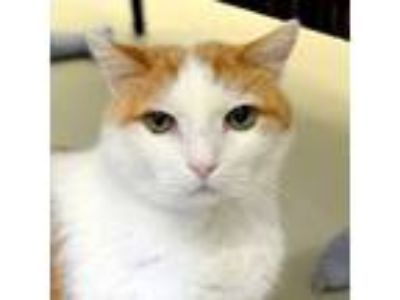 Adopt Raymond a Domestic Short Hair