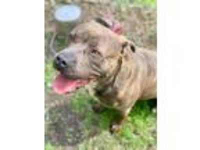 Adopt Jenna a Brindle Pit Bull Terrier / Mixed Breed (Medium) / Mixed dog in