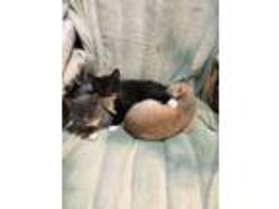 Adopt Pairs of kittens a Domestic Short Hair