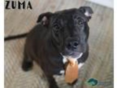 Adopt Zuma a Pit Bull Terrier / Mixed dog in Gautier, MS (25542828)